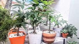Hermosas plantas del dinero (pachira)