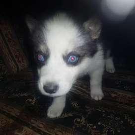 Siberiana husky cachorra