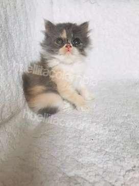 Gatos persa varios