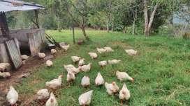 Venta de pollo en Pie y en canal de la mejor calidad