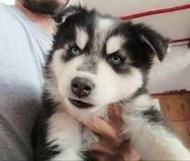 Cachorro macho de raza Husky Siberiano.