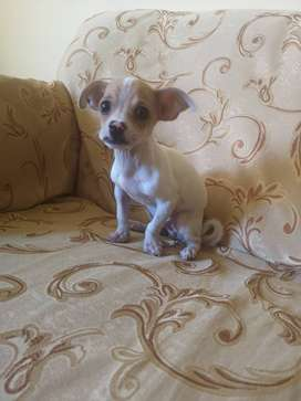 Hermoso Chihuahua