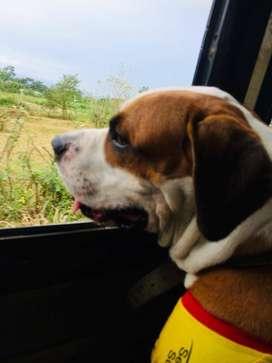 Perro para monta (Busca novia) Perro Bull Dog Americano.