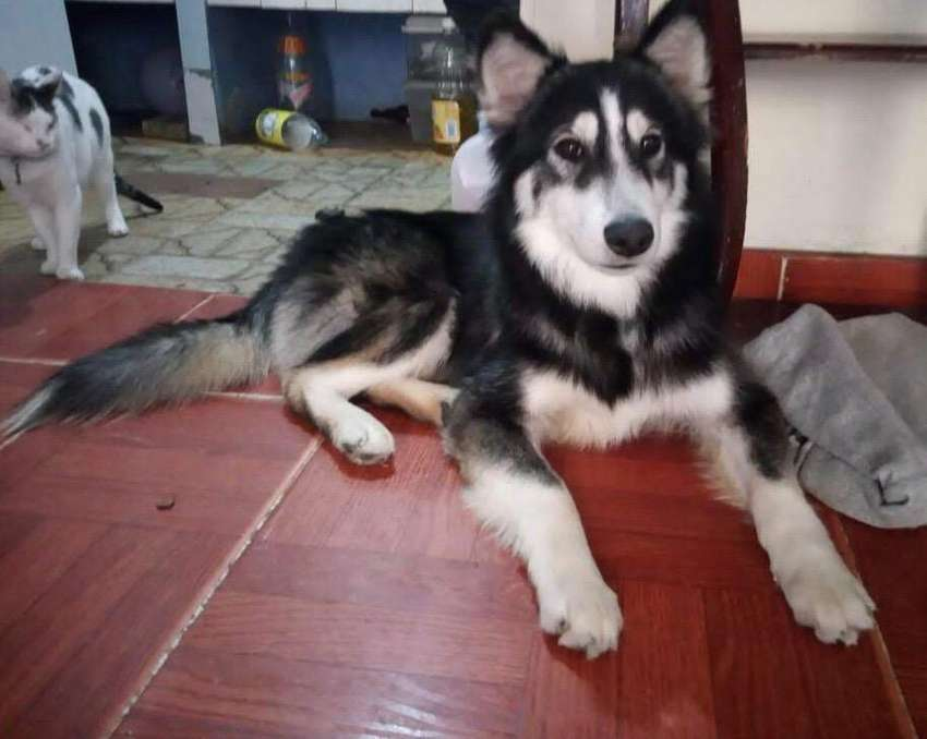 Hunter. Hermoso siberiano en adopcion. 0