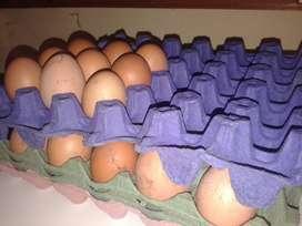 Huevos fertiles de ponedoras