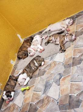 Hermosos bulldog ingles