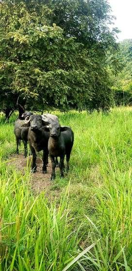 Bufalas, de Primer Parto, Cargadas