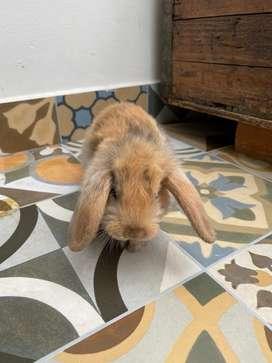 Conejos Mini Lop de 30 días