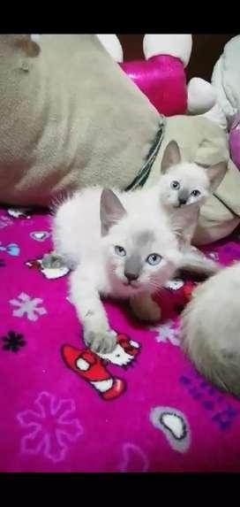 Gato Siamés, Ruso Azul y Angora Turco BIGOTUDOS S.A.S.