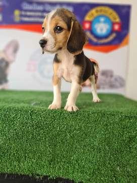 Empresa ofrece beagle hembrita tiernita