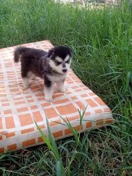 Se vende cachorro lobo siberiano