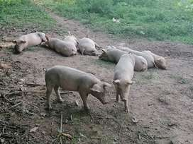 12 Cerdos de 2 arrobas
