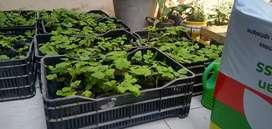 Vendo plantones de Frambuesa