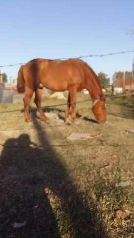 Vendo caballo alazan manso de andar y de pecho 3 anios de edad