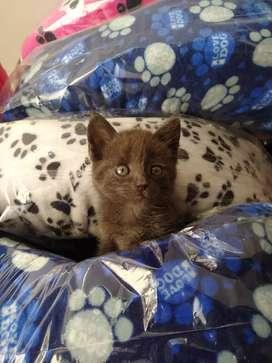 Gato macho ruso azul
