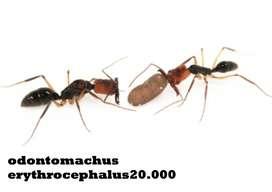 reina odontomachus hormiga