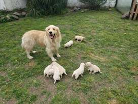Cachorros Golden Retriever Dorado Machos Y Hembras !!