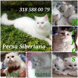 Gatos Persa Siberianos, Persa Clásico