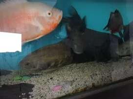 Pecera 200 lts con peces oscar