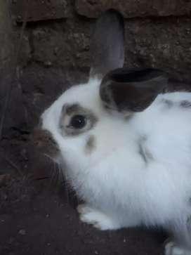 Conejo macho  reproductor