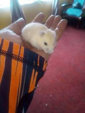 hamster enanitos rusos