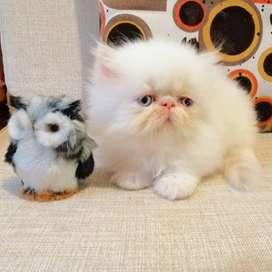 Gato Persa Pequeface Calidad Show