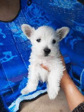 Westy terrier Highland blanco 48 días