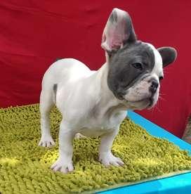 Bulldog francés pied blue 3 meses macho
