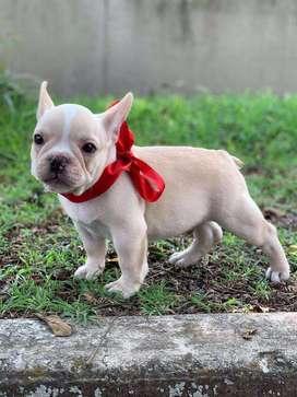 Bulldog frances 49 dias vacunados