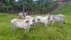 Venta ganado cebu blanco mansos machos
