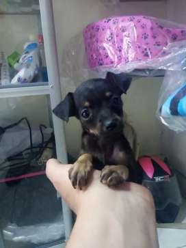 Puppy nena pincher mini