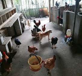 De oportunidad gallinas, pollos y patos criollos