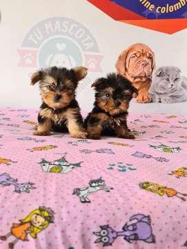 Yorkshire terrier mini divinos
