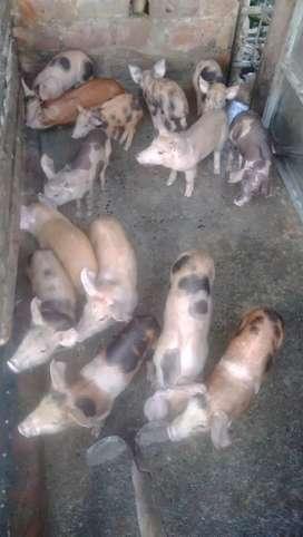 Cerdos -marranos en venta