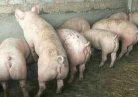 se vende lechones y cerdos 933,983099
