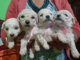 FRENCH POODLE TACITAS DE TE DISPONIBLES