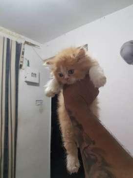Lindos gatitos,persas ala venta