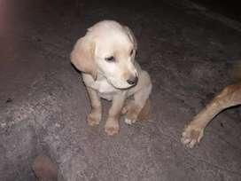 Se vende cachorros Golden Labrador
