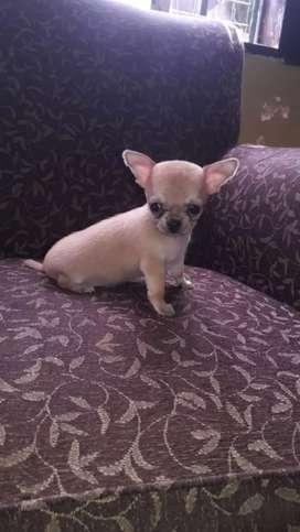 Chihuahuas machos minis minis bellisimos
