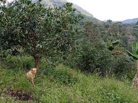 FINCA AGUACATERA(HASS) Y CAFETERA