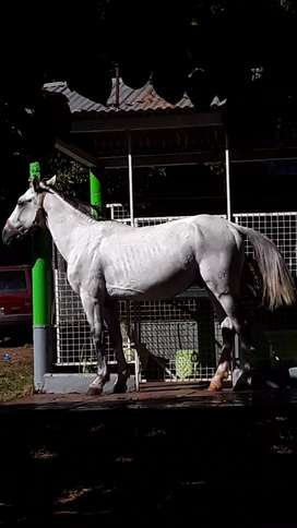 Vendo caballo  tordillo