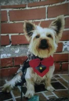 Busco novia, soy un yorkshire terrier de un 1 año
