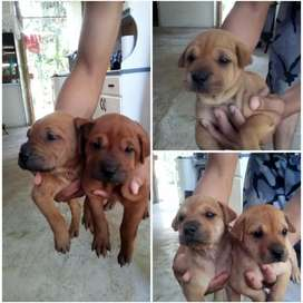Se venden cachorritos sharpei