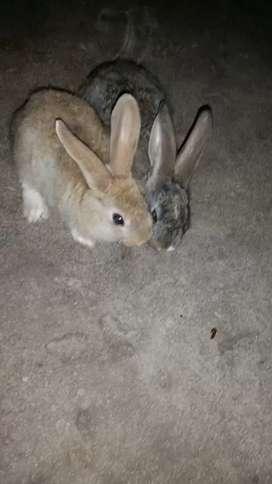 Vendo conejos $400 c/u