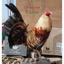 Gallos,pollos y pollas