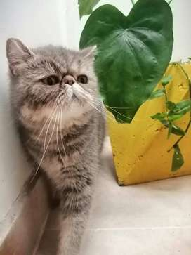 Gata exótica busca macho exótico o persa