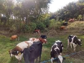 Venta permanente de ganado, Vacas de leche recién paridas,  garantizadas