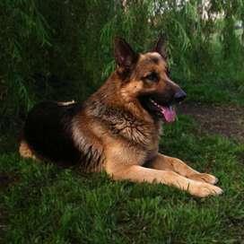 Cachorro Ovejero Aleman en Cordoba