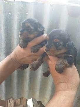 Galanes Yorkshire Terrier Nenitos por