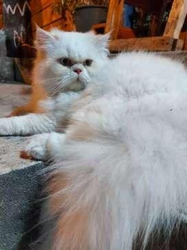Hermoso gato Persa para monta